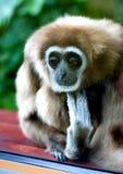 Droevige Gibbon Royalty-vrije Stock Fotografie