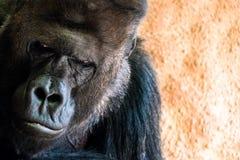 Droevige gorilla bij stock foto