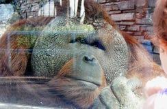 Droevige gorilla bij de dierentuin Droevige ogen stock afbeeldingen