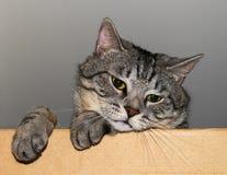 Droevige grijze gestreepte katkat Royalty-vrije Stock Foto