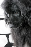 droevige grote hond Stock Foto