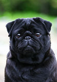 Droevige hond Stock Foto