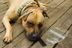 Droevige hond in kegelkraag Stock Afbeeldingen