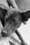 Droevige hond op zwart-wit Royalty-vrije Stock Afbeeldingen