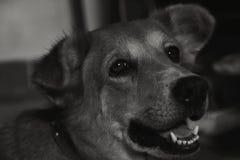 Droevige hond zwart-witte achtergrond Royalty-vrije Stock Foto