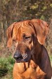 Droevige hondogen Rhodesian Ridgeback Mooi de hondportret van Rhodesian ridgeback Het onderzoeken van de ogen van de hond stock fotografie