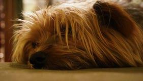 Droevige hondpijnbomen voor eigenaar stock fotografie