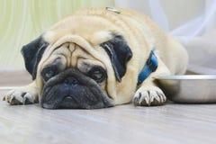 Droevige hondpug die op de vloer naast de plaat liggen Concept: thuis voedend een huisdier, honger, honden stock afbeeldingen