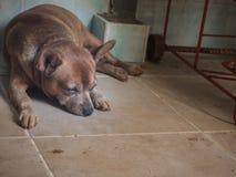 Droevige hondslaap op vloer, Miniatuurpinscher Stock Fotografie