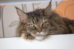 Droevige kat op de hoogste plank Het ontspannen kat Maincoon grote kat Gekleurde kat met groene ogen Het ontspannen stock foto
