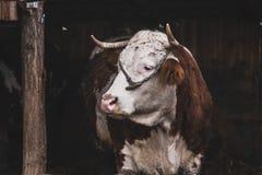 Droevige koe stock foto's