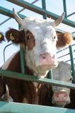 Droevige koe Stock Afbeelding