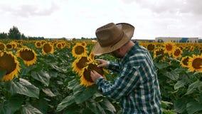 Droevige landbouwer die de zonnebloem controleren stock video