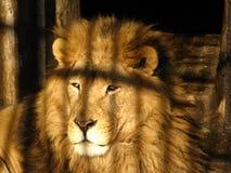 Droevige leeuw - schaduw van een kooi stock fotografie