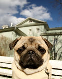 Droevige pug hond selphy grappig Royalty-vrije Stock Foto