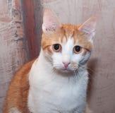 Droevige roodharige witte kat met oranje ogen royalty-vrije stock afbeeldingen