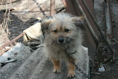 Droevige ruwharige hond op een ketting Royalty-vrije Stock Foto's