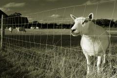 Droevige schapen achter een draad Royalty-vrije Stock Foto