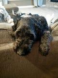 Droevige van een hond Stock Fotografie