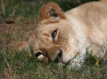 Droevige Vrouwelijke Leeuw met Scheuren Stock Foto's