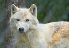 Droevige wolf Stock Afbeelding