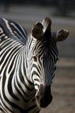 Droevige zebra stock afbeeldingen