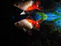 Droevige zieke goudvis stock fotografie