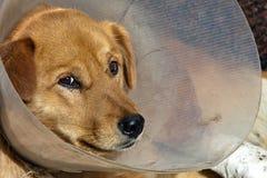 Droevige zieke hond Stock Fotografie