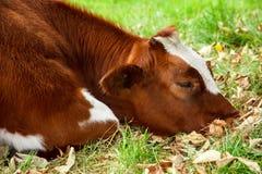 Droevige zieke koe Stock Foto