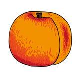 Drog frukter för persika isolerade handen vektorn Royaltyfria Foton