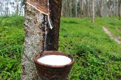 Drog ut den nära övre nya mjölkaktiga latexet för makroen droppvatten från para Royaltyfri Fotografi