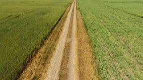 Droga gruntowa między dwa polami Grochu śródpolny i pszeniczny pole Odgórny widok pszeniczny pole Latać nad pszenicznym polem zbiory wideo