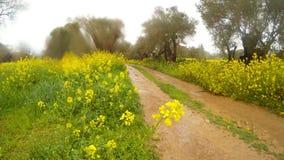 Droga gruntowa w starym oliwka ogródzie, gwałt kwitnie w deszczu w zimie w Cypr w chmurnej pogodzie zdjęcie wideo