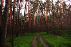 Droga w iglastym lesie obraz stock