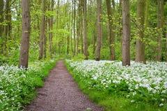 Droga w lesie i kwitnącym dzikim czosnku Fotografia Royalty Free