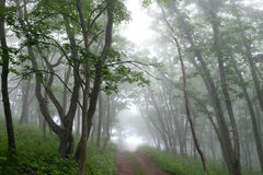 Droga w mgłowym tajemnica lesie Fotografia Stock