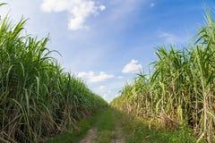 Droga wśród trzciny cukrowa pola z niebieskim niebem Obraz Royalty Free