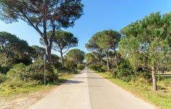 Droga w sosnowym lesie Obraz Royalty Free