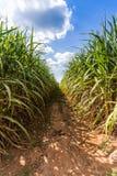 Droga w trzciny cukrowa gospodarstwie rolnym Zdjęcie Royalty Free