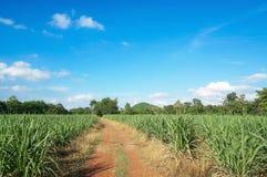 Droga w trzciny cukrowa gospodarstwie rolnym z pięknym niebieskim niebem i chmurą Fotografia Royalty Free