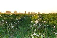 Droga wioska po środku pola dandelions przy zmierzchem zdjęcia stock