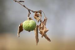 Droge appel en bladeren op boom Royalty-vrije Stock Afbeelding