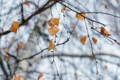 Droge berkbladeren op een boom royalty-vrije stock fotografie