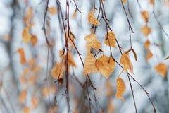 Droge berkbladeren op een boom stock foto