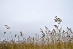 Droge bezems van riet tegen een bewolkte hemel Natuurlijke achtergrond stock afbeelding