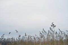 Droge bezems van riet tegen een bewolkte hemel Natuurlijke achtergrond stock fotografie