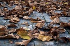 Droge bladeren van linde Stock Foto