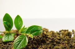 Droge bladeren van theeboom en groene tak Royalty-vrije Stock Afbeelding