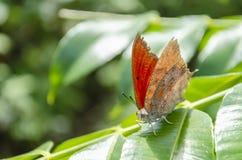 Droge Bladvlinder op Juni Plum Leaf royalty-vrije stock foto's