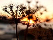 Droge bloem in de zonsondergang Stock Foto